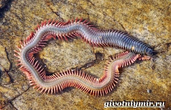 Нереис-червь-Образ-жизни-и-среда-обитания-нереиса-5