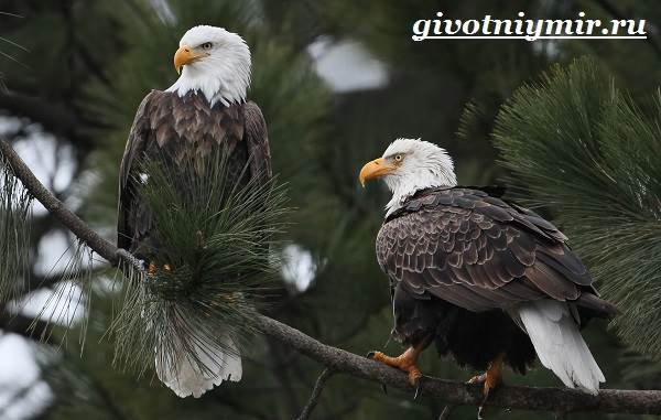 Орлан-птица-Образ-жизни-и-среда-обитания-орлана-1