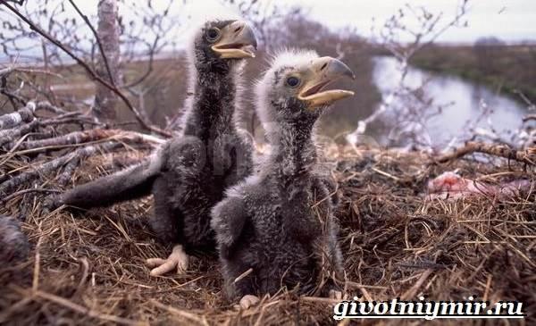 Орлан-птица-Образ-жизни-и-среда-обитания-орлана-10