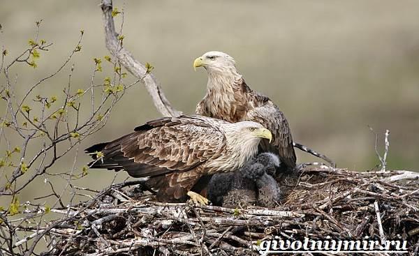 Орлан-птица-Образ-жизни-и-среда-обитания-орлана-11