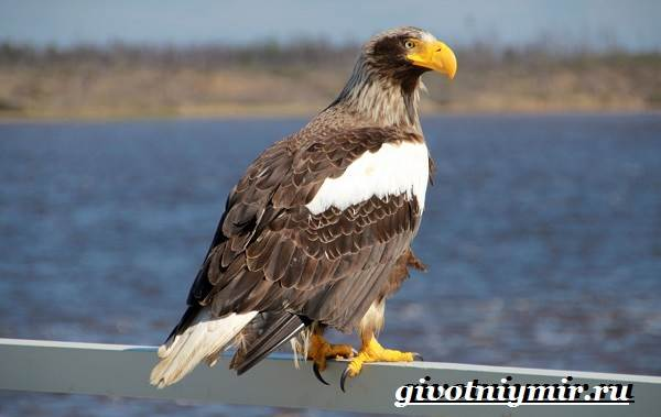 Орлан-птица-Образ-жизни-и-среда-обитания-орлана-3