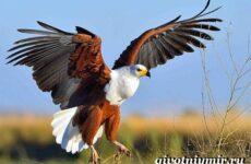 Орлан птица. Образ жизни и среда обитания орлана