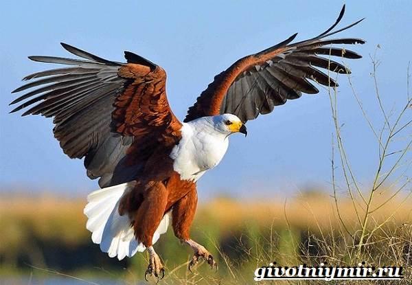 Орлан-птица-Образ-жизни-и-среда-обитания-орлана-5