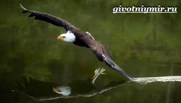 Орлан-птица-Образ-жизни-и-среда-обитания-орлана-6