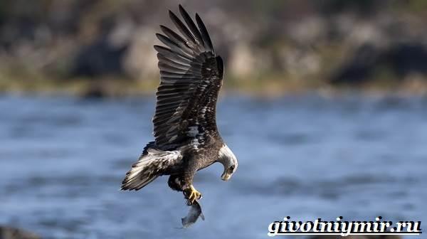 Орлан-птица-Образ-жизни-и-среда-обитания-орлана-7