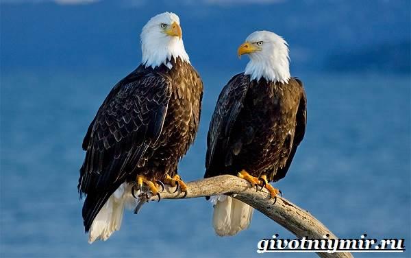 Орлан-птица-Образ-жизни-и-среда-обитания-орлана-9