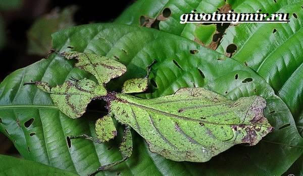 Палочник-насекомое-Образ-жизни-и-среда-обитания-палочника-8