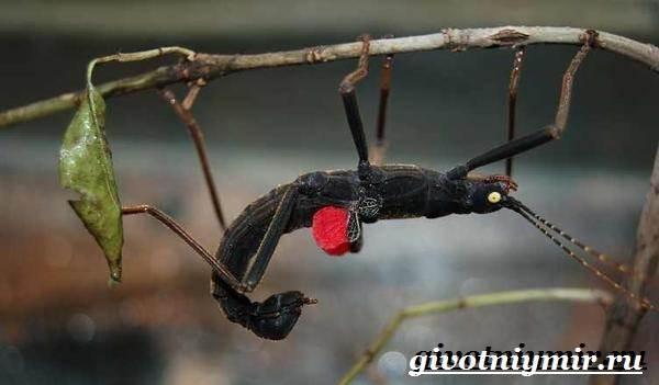 Палочник-насекомое-Образ-жизни-и-среда-обитания-палочника-9