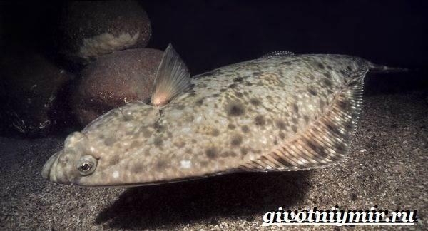 Палтус-рыба-Образ-жизни-и-среда-обитания-рыбы-палтус-3