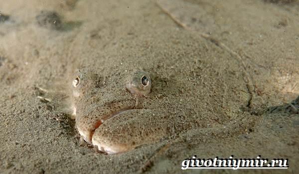 Палтус-рыба-Образ-жизни-и-среда-обитания-рыбы-палтус-4