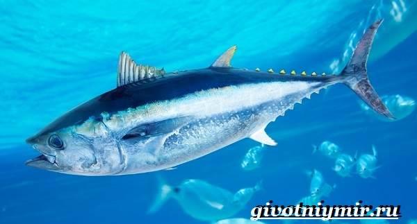 Пеламида-рыба-Образ-жизни-и-среда-обитания-рыбы-пеламиды-1