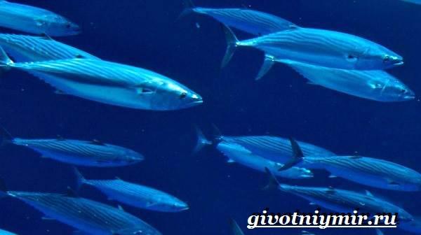 Пеламида-рыба-Образ-жизни-и-среда-обитания-рыбы-пеламиды-3