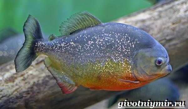 Пиранья-рыба-Образ-жизни-и-среда-обитания-рыбы-пираньи-1