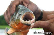 Пиранья рыба. Образ жизни и среда обитания рыбы пираньи