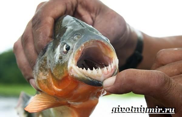 Пиранья-рыба-Образ-жизни-и-среда-обитания-рыбы-пираньи-2