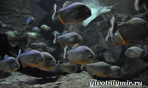 Пиранья-рыба-Образ-жизни-и-среда-обитания-рыбы-пираньи-4