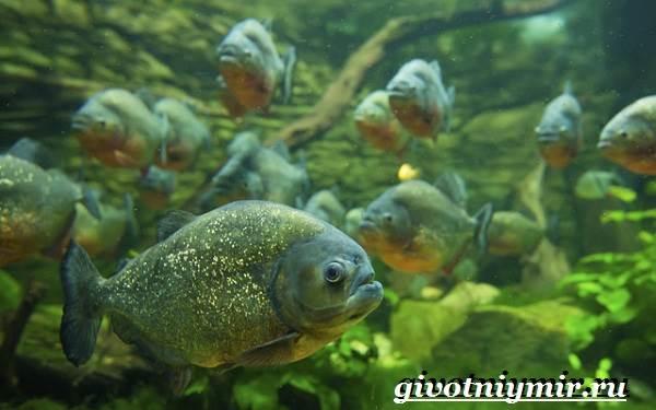 Пиранья-рыба-Образ-жизни-и-среда-обитания-рыбы-пираньи-5