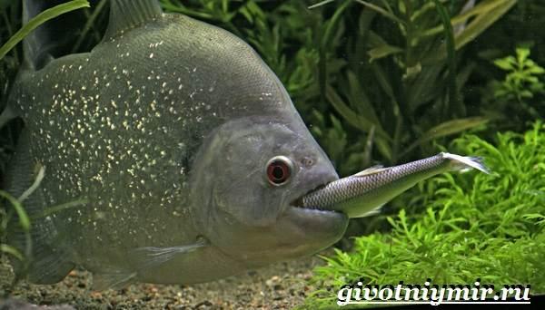 Пиранья-рыба-Образ-жизни-и-среда-обитания-рыбы-пираньи-6