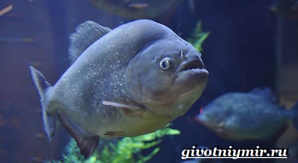Пиранья-рыба-Образ-жизни-и-среда-обитания-рыбы-пираньи-7