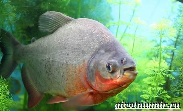 Пиранья-рыба-Образ-жизни-и-среда-обитания-рыбы-пираньи-8