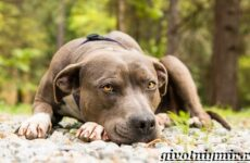 Питбуль собака. Описание, особенности, уход и цена питбуля