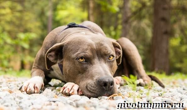 Питбуль-собака-Описание-особенности-уход-и-цена-питбуля-1