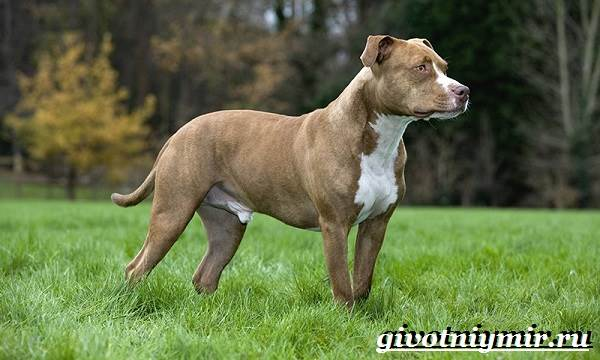 pitbull собака