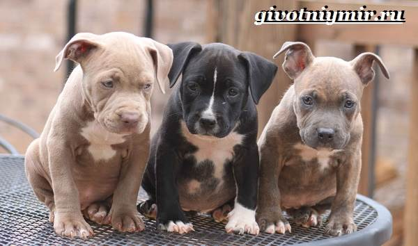 Питбуль-собака-Описание-особенности-уход-и-цена-питбуля-6