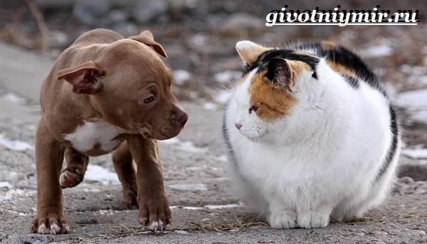 Питбуль-собака-Описание-особенности-уход-и-цена-питбуля-7