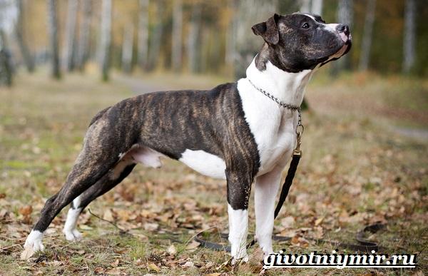 Питбуль-собака-Описание-особенности-уход-и-цена-питбуля-9