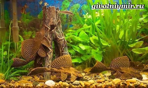 Плекостомус-рыба-Описание-особенности-содержание-и-цена-плекостомуса-2