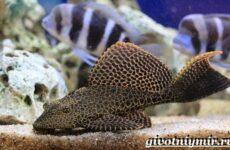 Плекостомус рыба. Описание, особенности, содержание и цена плекостомуса