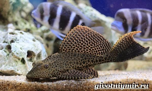 Плекостомус-рыба-Описание-особенности-содержание-и-цена-плекостомуса-3