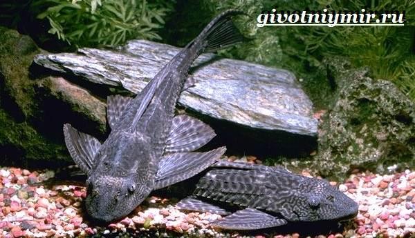 Плекостомус-рыба-Описание-особенности-содержание-и-цена-плекостомуса-4