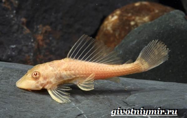 Плекостомус-рыба-Описание-особенности-содержание-и-цена-плекостомуса-6