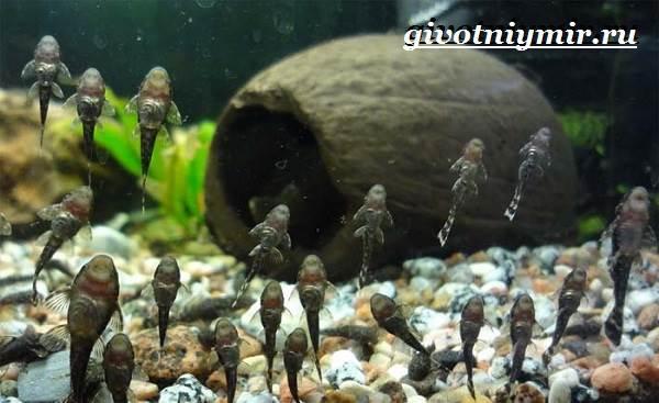 Плекостомус-рыба-Описание-особенности-содержание-и-цена-плекостомуса-7