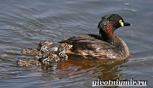 Поганка-птица-Образ-жизни-и-среда-обитания-птицы-поганки-4
