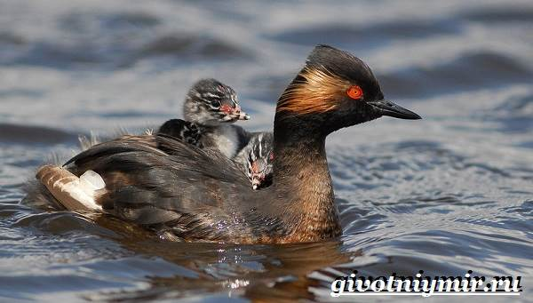 Поганка-птица-Образ-жизни-и-среда-обитания-птицы-поганки-5