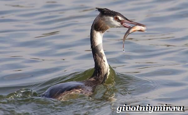 Поганка-птица-Образ-жизни-и-среда-обитания-птицы-поганки-6