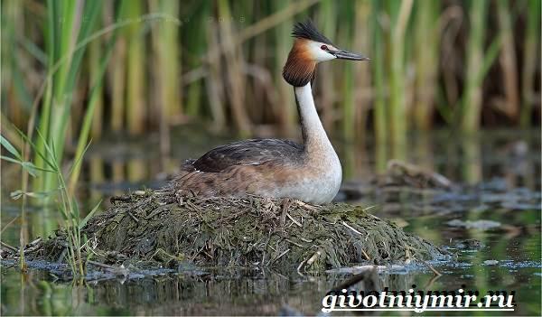 Поганка-птица-Образ-жизни-и-среда-обитания-птицы-поганки-7