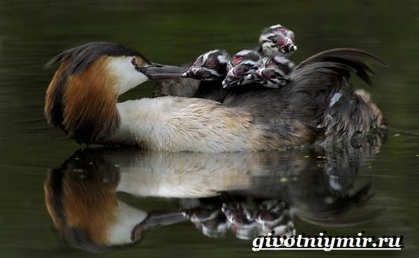 Поганка-птица-Образ-жизни-и-среда-обитания-птицы-поганки-8