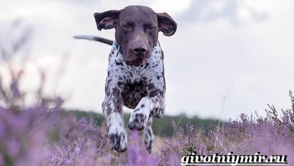 Пойнтер-собака-Описание-особенности-уход-и-цена-пойнтера-1
