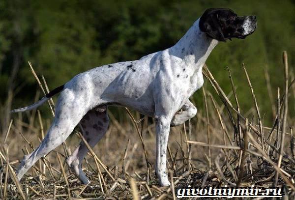 Пойнтер-собака-Описание-особенности-уход-и-цена-пойнтера-2