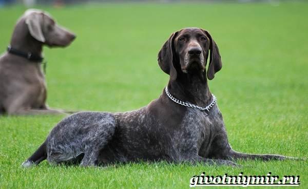 Пойнтер-собака-Описание-особенности-уход-и-цена-пойнтера-3