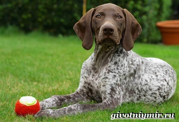 Пойнтер-собака-Описание-особенности-уход-и-цена-пойнтера-5