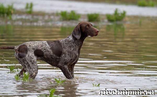 Пойнтер-собака-Описание-особенности-уход-и-цена-пойнтера-6