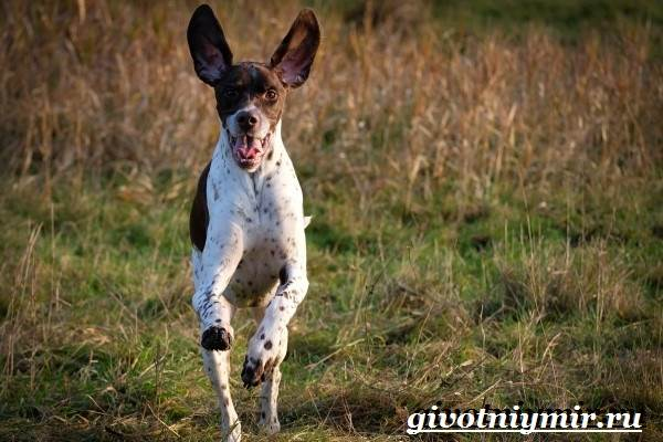 Пойнтер-собака-Описание-особенности-уход-и-цена-пойнтера-7