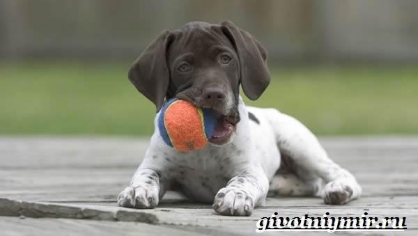 Пойнтер-собака-Описание-особенности-уход-и-цена-пойнтера-8