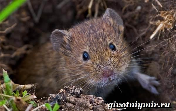Полевка-мышь-Образ-жизни-и-среда-обитания-полевки-1