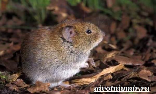 Полевка-мышь-Образ-жизни-и-среда-обитания-полевки-2